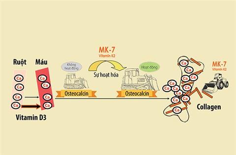 d3-mk7-giup-canxi-vao-tan-xuong.jpg