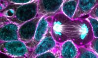 Các nhà khoa học lần đầu xây dựng thành công mô hình nguyên phân của tế bào gốc