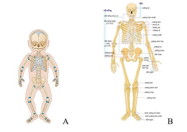 Kết quả hình ảnh cho giai đoạn hình thành và phát triển xương