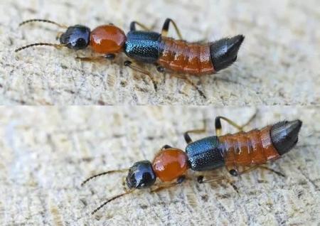 Hình ảnh kiến ba khoang. Ảnh minh họa