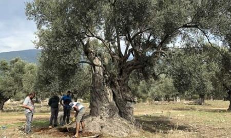 Các nhà khoa học thu thập mẫu đất dưới rễ để xác định tuổi của cây olive. Ảnh: Daily Sabah.