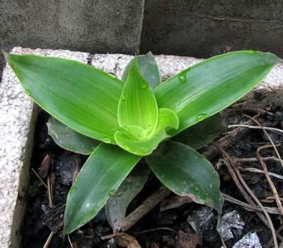 Cây lược vàng được trồng ở nhiều gia đình. Ảnh: PV
